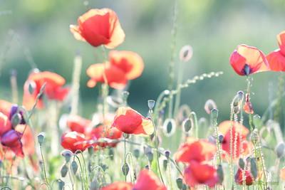 Poppys_Morges_08062019 (17)