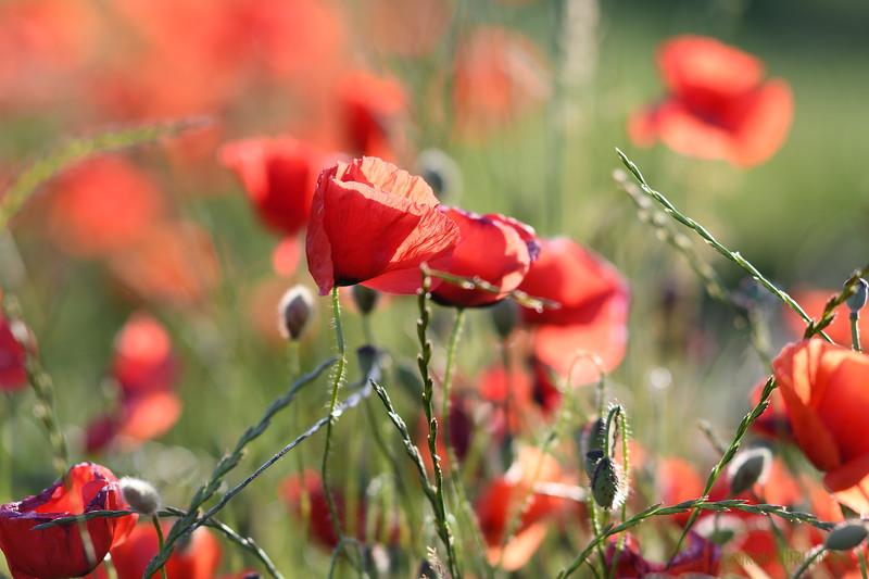 Poppys_Morges_08062019 (52)