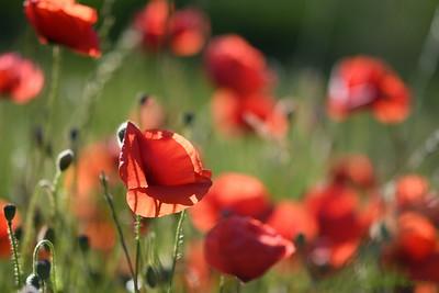 Poppys_Morges_08062019 (6)