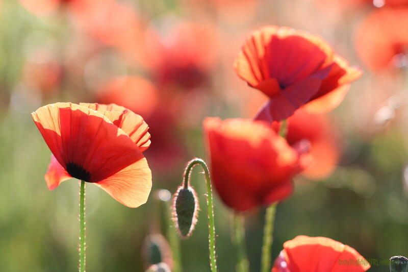 Poppys_Morges_08062019 (55)