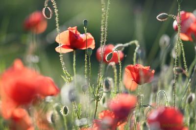 Poppys_Morges_08062019 (49)