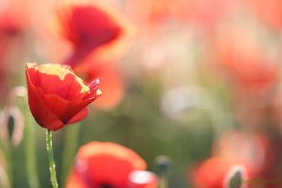 Poppys_Morges_08062019 (57)