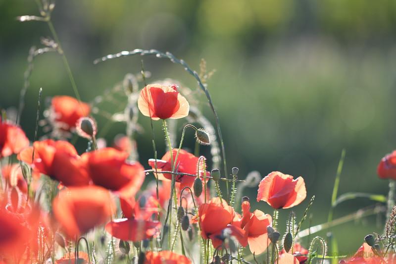 Poppys_Morges_08062019 (45)