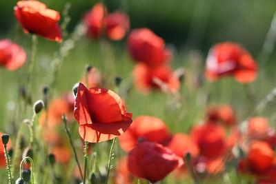 Poppys_Morges_08062019 (4)