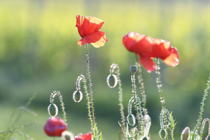 Poppys_Morges_08062019 (36)