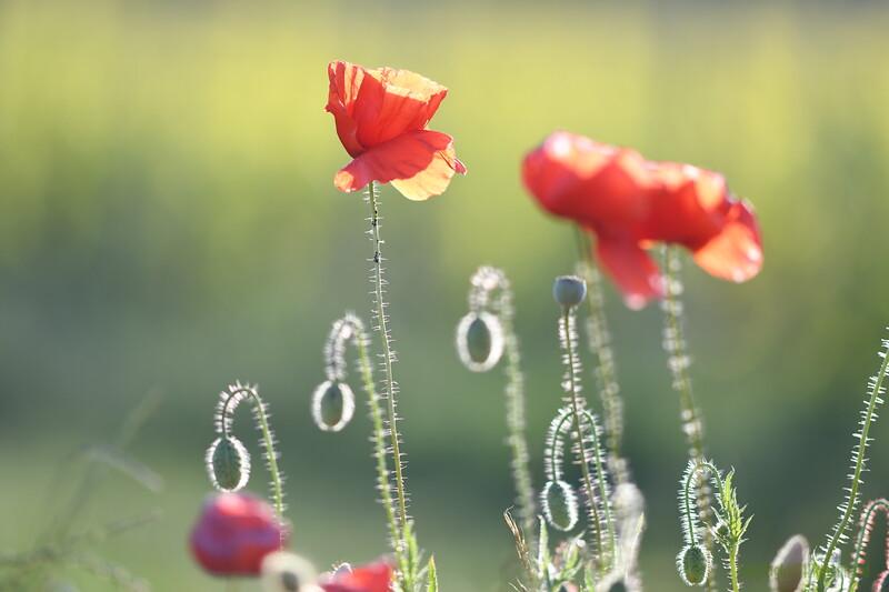 Poppys_Morges_08062019 (37)