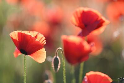 Poppys_Morges_08062019 (54)