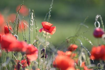 Poppys_Morges_08062019 (38)