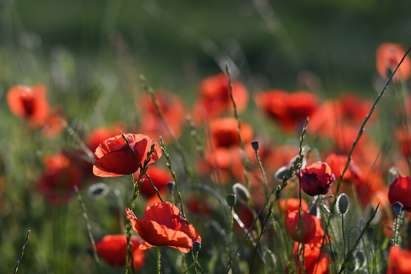 Poppys_Morges_08062019 (28)