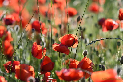 Poppys_Morges_08062019 (9)