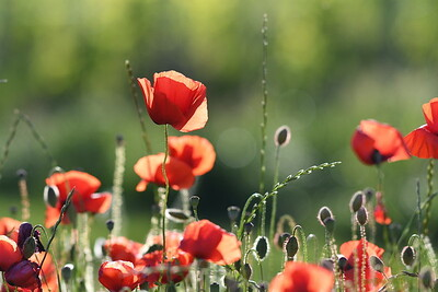 Poppys_Morges_08062019 (1)