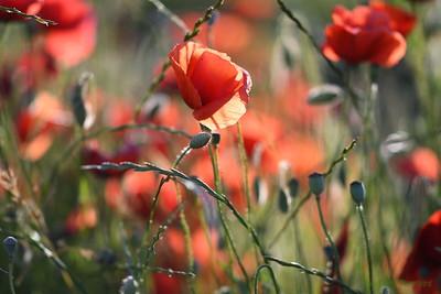 Poppys_Morges_08062019 (41)