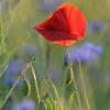 Poppy_Flower_0193