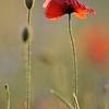 Poppy_Flower_0188