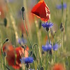 Poppy_Flower_0181