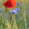 Poppy_Flower_0191