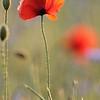Poppy_Flower_0186
