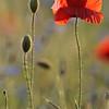 Poppy_Flower_0189
