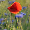Poppy_Flower_0190