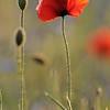 Poppy_Flower_0184