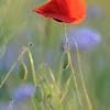 Poppy_Flower_0195