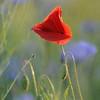 Poppy_Flower_0196