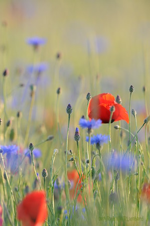 Poppy Flowers 2012