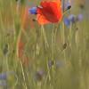 Poppy_Flower_0182