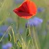 Poppy_Flower_0194
