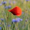 Poppy_Flower_0192