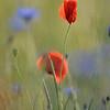 Poppy_Flower_0197