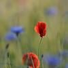 Poppy_Flower_0199