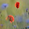 Poppy_Flower_0198