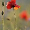 Poppy_Flower_0187