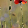 Poppy_Flower_0185