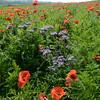 Poppys_La-Chaux_28092014 (9)