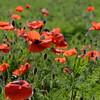 Poppys_La-Chaux_28092014 (12)