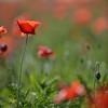 Poppys_La-Chaux_28092014 (19)