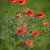 Poppys_La-Chaux_28092014 (20)