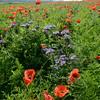 Poppys_La-Chaux_28092014 (10)
