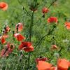 Poppys_La-Chaux_28092014 (13)