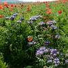 Poppys_La-Chaux_28092014 (6)
