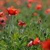 Poppys_La-Chaux_28092014 (17)