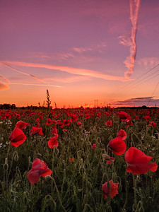 Poppys against a rich sunset background