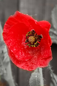 Isolated Poppy agasint a grey background