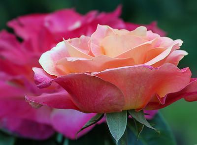 Portland Rose Garden 11 (62769779)