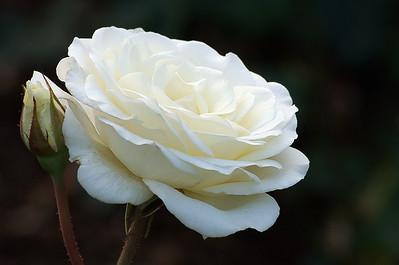 Portland Rose Garden 9 (62769020)