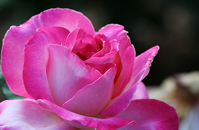 Portland Rose Garden 7 (62769018)