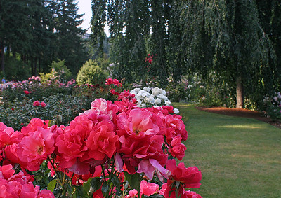 Portland Rose Garden 4 (62769014)