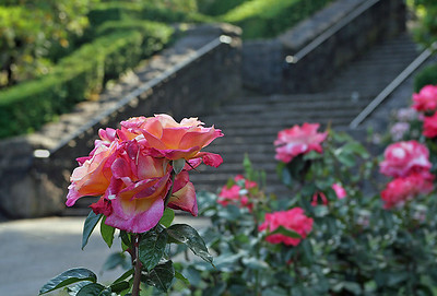 Portland Rose Garden 3 (62770801)